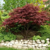 Acer palmatum 'Atropurpureum' 03