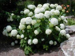 Hydrangea arborescens 'Annabelle' 17