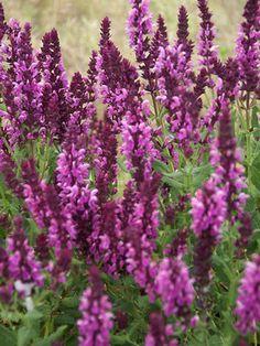 Salvia nemorosa Sensation® Compact Bright Rose 02